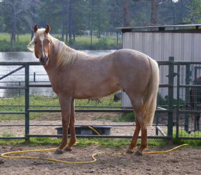 Paint Quarter Horses For Sale in Texas Aqha Quarter Horses For Sale